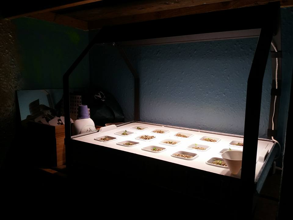 Day 5, stage 2, seedlings in the larger cultivation unit under the light